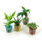 バード ビー玉植え 観葉植物/ハイドロカルチャー/水耕栽培/インテリアグリーン