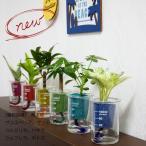 ウォータリウム ビーカーS100ml レインボーサンド植え 観葉植物/ハイドロカルチャー/水耕栽培/インテリアグリーン