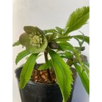 クリスマスローズ 侘助  原種アトルルーベンス交配 花、ガーデニング その他花、ガーデニング (4101)