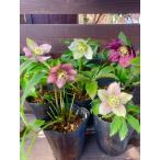 クリスマスローズ 花郷園オリジナル 上向き咲き品種 お任せ5株セット 花、ガーデニング その他花、ガーデニング (4101)
