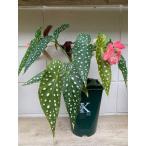 シャンデリア 水玉ベゴニア 木立性ベゴニア流れ星 6寸size   花、ガーデニング 観葉植物 (44700)