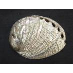 ハリオティス フージェンス 磨き 約13±0.5cm以上/1個 貝殻 貝 シェル