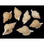 ディストロシオ レティクラタ 約6〜7cm/10個 貝殻・貝・シェル・巻貝