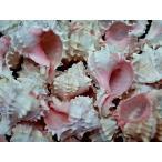 ピンクムレックス 約8〜10cm/約1kg 貝 貝殻 シェル 巻貝 フォト 絵画 ハンドメイド 海 ブライダル ウェルカムボード