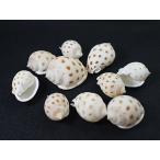 ウラシマガイ 約4〜6cm/2個 貝 貝殻 シェル 巻貝 アクセサリー ハンドメイド フォト コレクター ヤドカリ