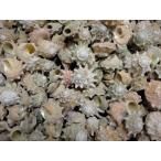 ハグルマウラウズ 約2.0〜3.0cm/500g 貝 貝殻 シェル 巻貝 フォト 絵画 ハンドメイド 海 ブライダル ウェルカムボード