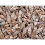 Yahoo!貝殻の問屋さん ホームテリアミノムシガイ 約2〜4cm/100g 貝 貝殻 シェル 小さな貝 キャンドル ブライダル ウェルカムボード ハンドメイド フレーム