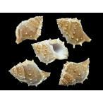 ミヤコボラ 約7〜9cm/2個入 貝 貝殻 シェル 巻貝 アクセサリー ハンドメイド フォト コレクター ヤドカリ