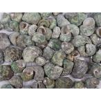 ターボグリーンシェル 約2.0〜5.0cm/100g 貝 貝殻 シェル 巻貝 フォト 絵画 ハンドメイド 海 ブライダル ウェルカムボード