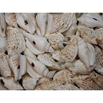 Yahoo! Yahoo!ショッピング(ヤフー ショッピング)バナビイリス ブラウン 約4〜5cm/100g 貝 貝殻 シェル 巻貝 フォト 絵画 ハンドメイド 海 ブライダル ウェルカムボード