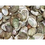 ハリオティスパルチャーム自然 約3.0〜6.0cm/100g 貝殻 貝 シェル