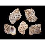 スミツキミヤコボラ 約5.5〜7.0cm/2個入 貝 貝殻 シェル 巻貝 アクセサリー ハンドメイド フォト コレクター ヤドカリ