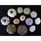 ウニ詰め合わせ 約4〜8cm/12個入 貝殻 貝 シェル ウニ