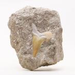 サメの歯化石 母岩付(オトドゥス)No.13