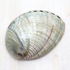 クジャクアワビL 貝殻 インテリア 約14〜15cm