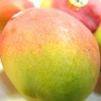 メキシコ産アップルマンゴー 小玉2個入り   出荷予定:4月上旬〜 父の日 ギフト