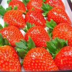 奈良県産いちご 古都華 30粒入り  「あすかルビー」を超えた奈良県生まれのいちごの優良品種  出荷予定期間:1月上旬〜2月上旬