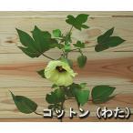 おもしろ植物【ワタI】綿3号ポット苗