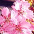 【2017年1月のお届け】サクラ苗木●【河津桜】(カワヅザクラ)【一重咲き】