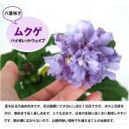 八重咲きムクゲ バイオレットウェイブ (紫玉)/6号鉢植え