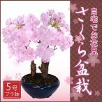 【2月下旬から発送】桜盆栽5号鉢自宅でお花見楽しめるさくら盆栽