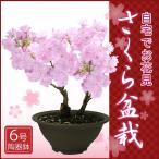 2月下旬より出荷/特上株6号陶器鉢さくら盆栽/自宅でお花見桜盆栽♪