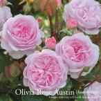 イングリッシュローズ大苗 オリビア・ローズ・オースチン 2014-2015発表品種 ピンク系 バラ7号角鉢植え