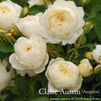 予約品11月末より出荷 イングリッシュローズ大苗クレアオースチン クリーム  7号角鉢植え