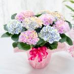 母の日 アジサイ プレゼント 2021 花 ギフト 鉢植え マジカル ピンクグラデーション あじさい 紫陽花 5号鉢植え
