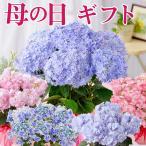 母の日プレゼント 超希少種!選べるアジサイ鉢植えセレクションギフト