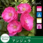 予約品11月上旬から出荷 バラ苗 アンジェラ (ピンク系) ツルバラ・クライミングローズ ・四季咲きフロリバンダ