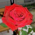 予約品11月上旬から出荷 バラ苗 スムースベルベット (赤系) ツルバラ・クライミングローズ 四季咲き