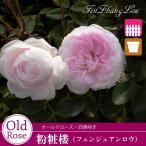 予約品11月上旬から出荷 バラ苗 粉粧楼(ふんしょうろう)(ピンク系) オールドローズ