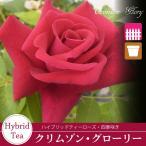 バラ苗/強く優しい花色