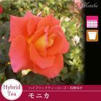 バラ苗/香りのある白花