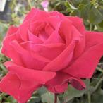 バラ苗/印象的な花を繰り返し咲かせる