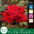 バラ苗/剣弁高芯咲きの大輪花が美しい!