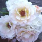 バラ苗/淡いピンクでオシャレなバラ  1万円以上送料無料!