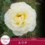 予約品11月上旬から出荷 バラ苗2年生大苗 エリナ(黄色系) ハイブリットティーローズ ・四季咲き