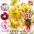 花ギフト 洋蘭シンビジウム 鉢花4、5本立ち シンビジューム鉢植え 豪華洋ラン