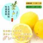 特選果樹苗★グレープフルーツ