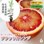 特選果樹苗 ★ブラッドオレンジ