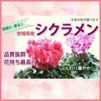 色が選べる シクラメンの鉢植えの花 鉢植え 5寸