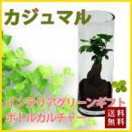 ガジュマル ハイドロカルチャー ボトルカルチャー 観葉植物 鉢植えの花 鉢植え プレゼント誕生日 結婚記念日 結婚祝い 画像 送料無料
