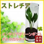 ストレチア ハイドロカルチャー ボトルカルチャー 観葉植物 鉢植えの花 鉢植え プレゼント誕生日 結婚記念日 結婚祝い 画像 送料無料