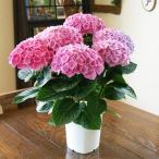 母の日 父の日 2021 花 プレゼント 紫陽花 あじさい アジサイ 西安  鉢植えの花 鉢植え 父の日 誕生日 結婚記念日 結婚祝い 画像 送料無料
