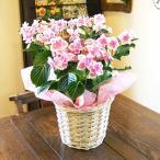 紫陽花 あじさい 送料無料 アジサイ コンペイトウ 鉢植え ハイランドジア