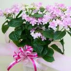 紫陽花 あじさい 送料無料 淡いピンク ガクアジサイ ダンスパーティー 5寸 カゴ付 ハイランドジア 鉢植えの花 鉢植え プレゼント誕生日 結婚記念日 結婚祝い