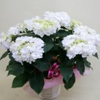 母の日 2021 花 プレゼント 紫陽花 あじさい アジサイ 白 鉢植えの花 鉢植え カゴ付 鉢植えの花 鉢植え父の日 誕生日 結婚記念日 結婚祝い