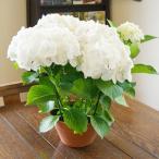 アジサイ 母の日 あじさい ギフト プレゼント アジサイ ファースト ホワイト 鉢植え 送料無料 新品種 鉢 新 品種 アナベル 苗 珍しい 紫陽花